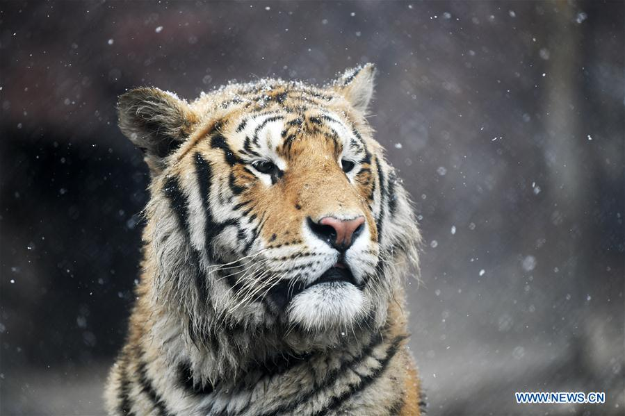 Siberian tigers in the snow in northeast China