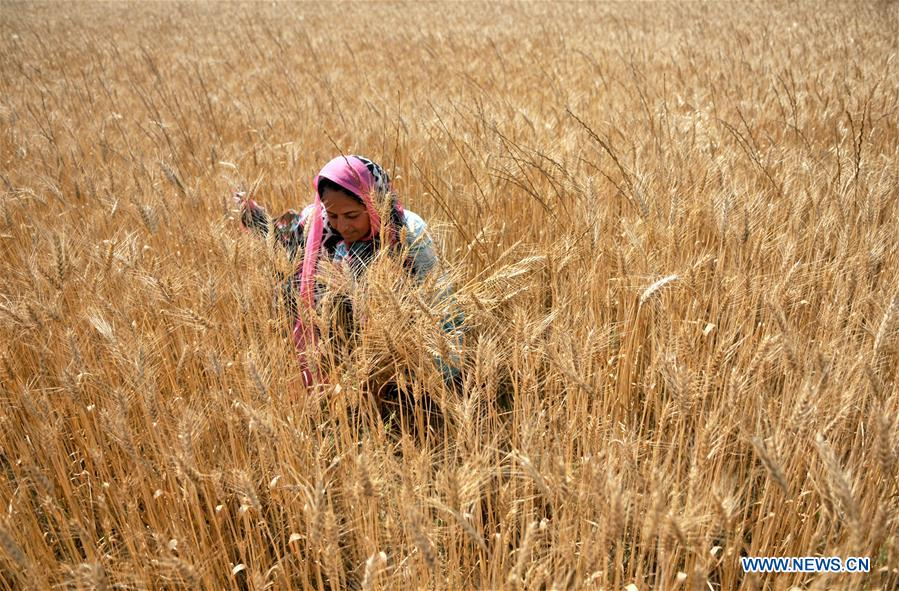 Villagers harvest wheat in Jammu, Indian-controlled Kashmir