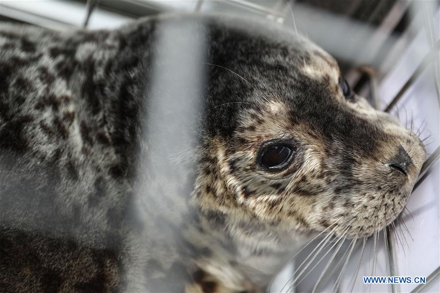 Spotted baby seals rescued in NE China released to sea
