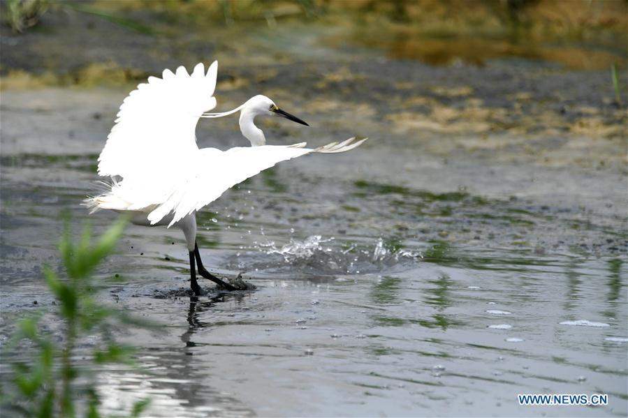 Egrets in Xinweijiang River wetland in Nanning, S China