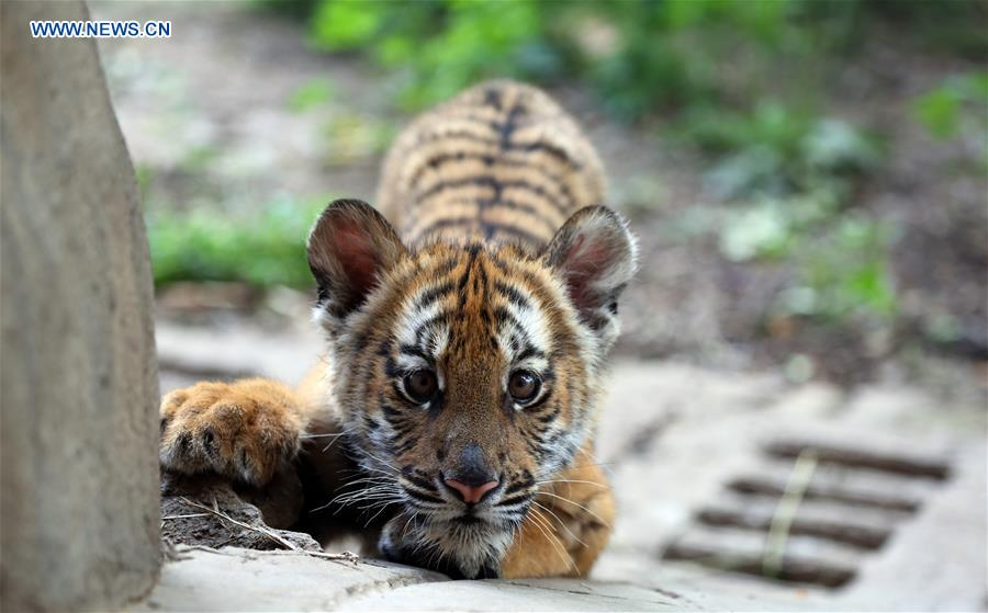 6 South China Tiger cubs allowed to meet public in China's Henan