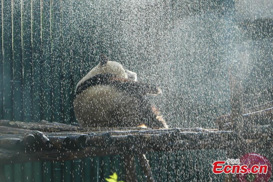 Panda takes cold shower to beat the heat