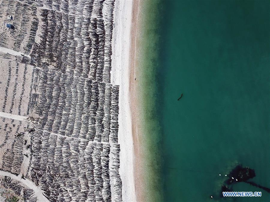 Local kelp farmers occupied with summer harvest in China's Shandong