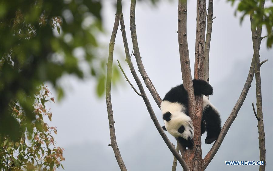 Baby giant pandas at 'Giant Panda Kindergarten' in Wolong, SW China