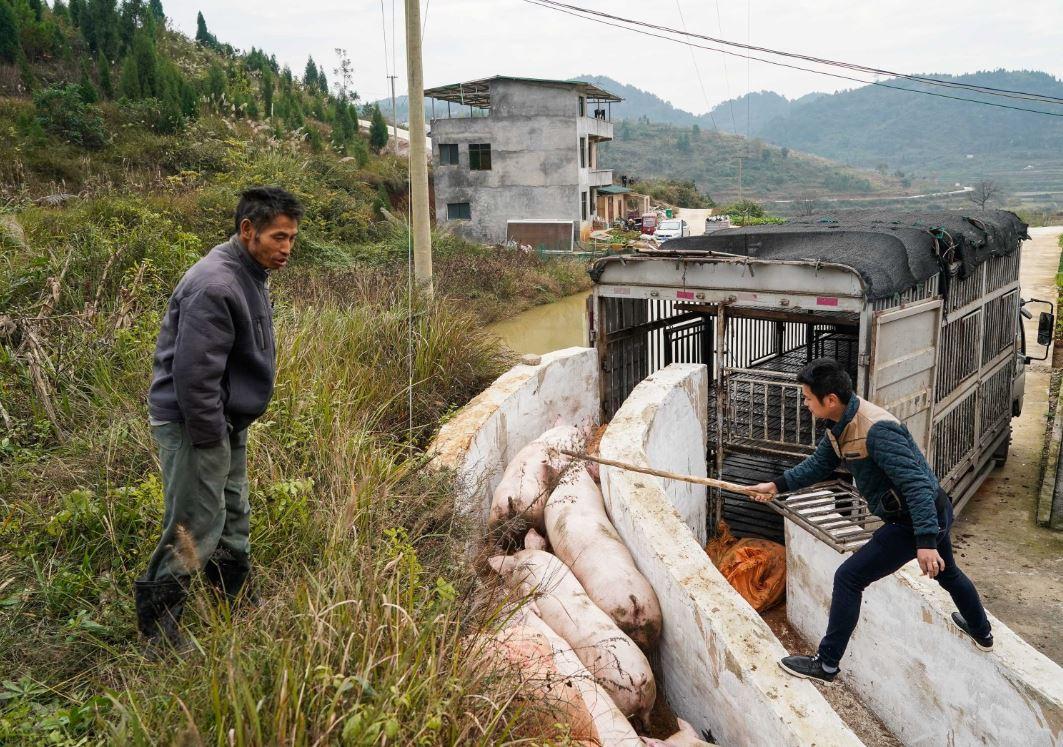Swine fever reshaping pig farming