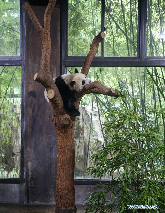 Panda cub named Qiqi at naming ceremony in Shanghai