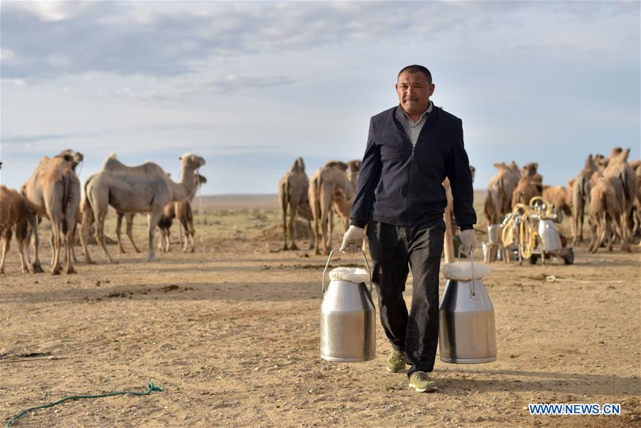 Camel breeding industry helps locals increase income in China's Xinjiang