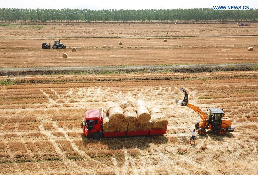 Wheat straw recycling conducted with ongoing wheat harvest