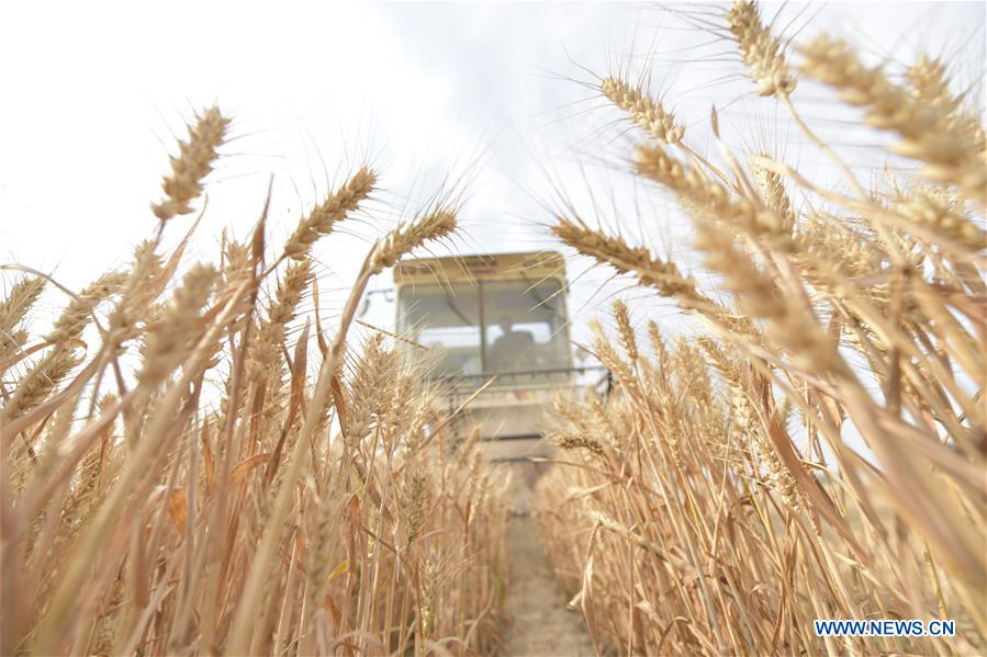 Farmers harvest wheat in China