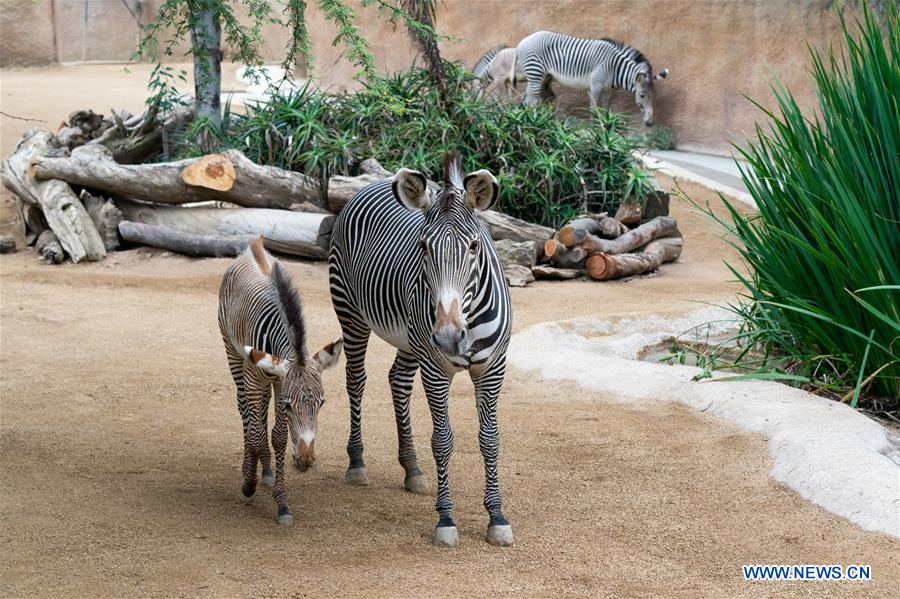 Male baby zebra makes debut at Los Angeles Zoo