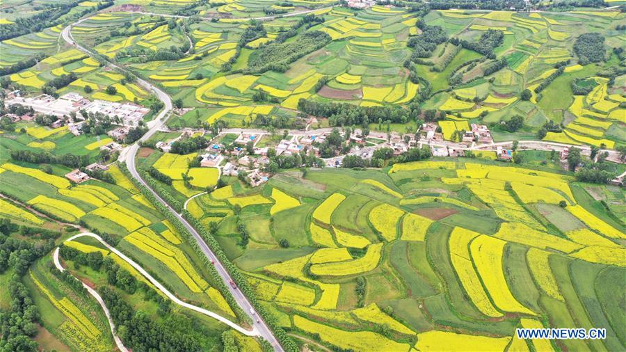 Aerial view of cole flowers in terraced fields in China's Gansu