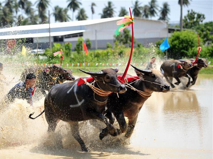 In pics: Wooden Plow Buffalo Race in Chonburi, Thailand