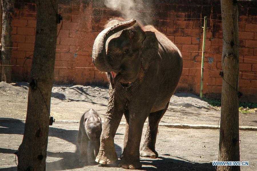 9-day baby Sumatran elephant seen in Malang, Indonesia