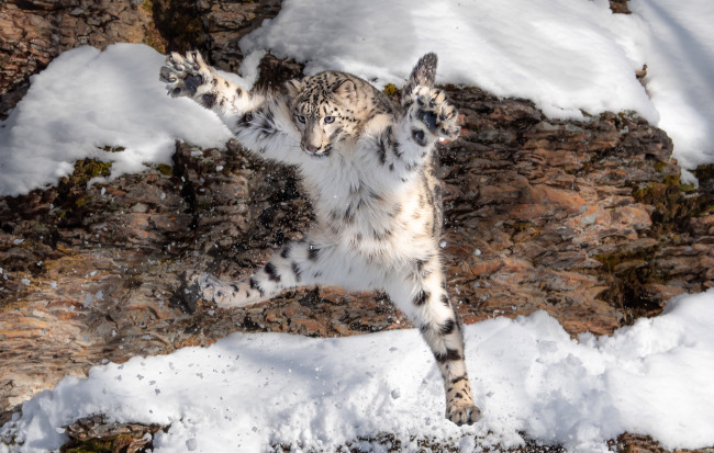 Snow leopard family spotted in SW China nature reserve