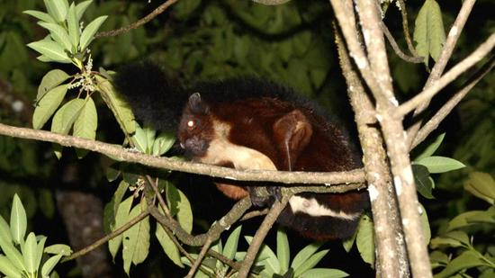 Chinese scientists identify new species of rare flying squirrel