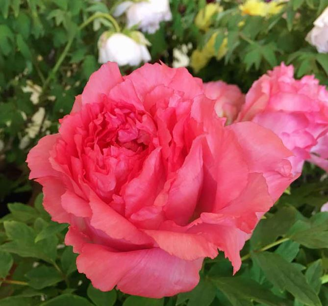 China selects peony as national flower