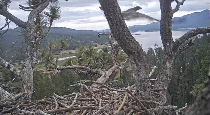 Southern California nest cam eagle flies for 1st time