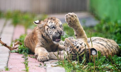 AI used to aid tigers, leopards