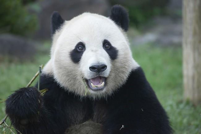 Panda exhibition to be held at Dubai Expo 2020