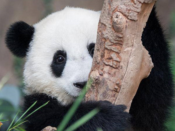 2nd giant panda cub named Yi Yi, marking close China-Malaysia friendship