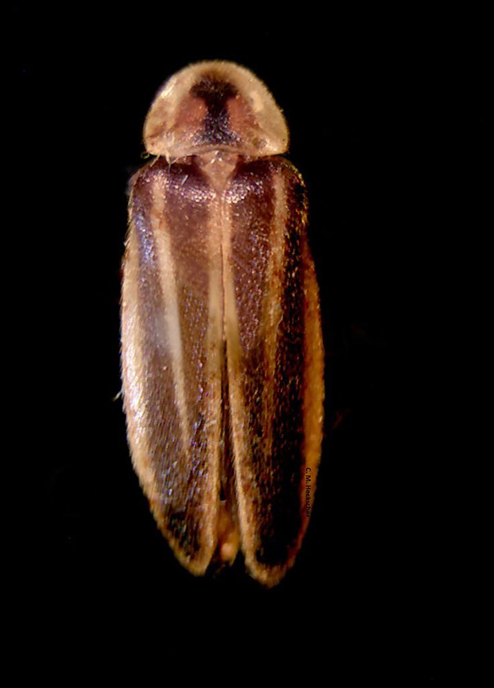 Endangered list sought for firefly with double-green flash