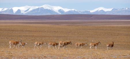 Tibetan antelope migration starts