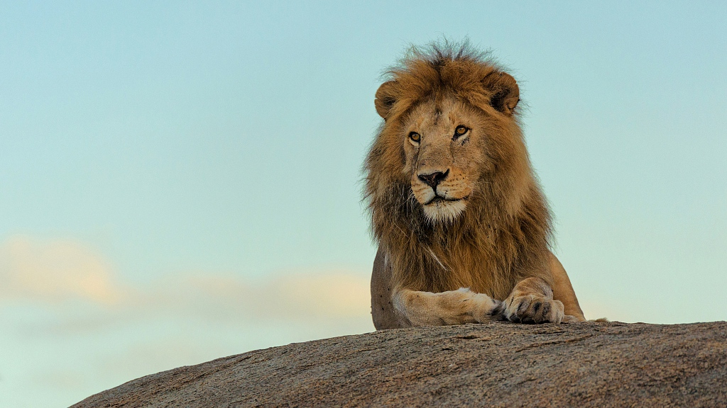 Africa's lions facing catastrophic decline: report