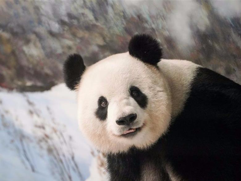 Giant panda Sijia's 13th birthday