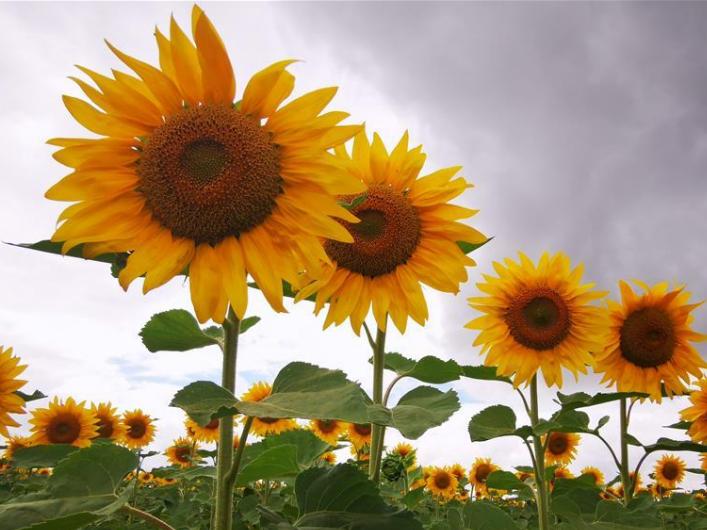 Blooming sunflowers in Baiyin, northwest China's Gansu
