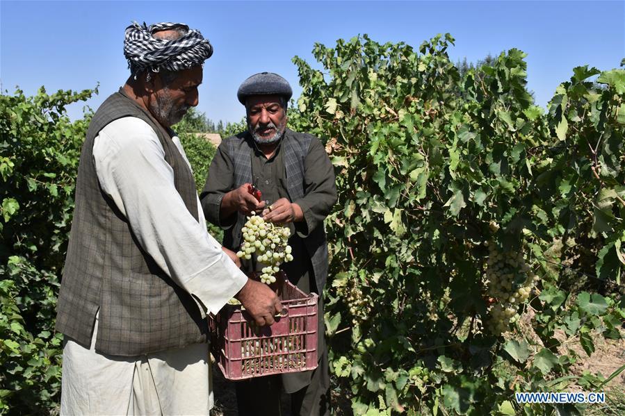 Afghan farmers work at vineyard in Sholgara district
