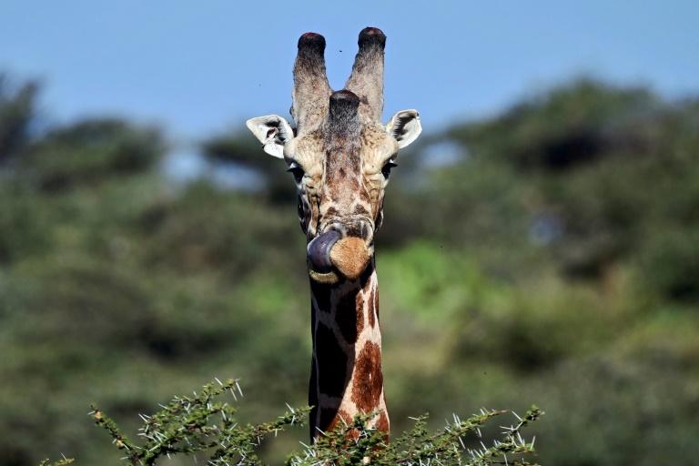 Gentle giraffes threatened with 'silent extinction'
