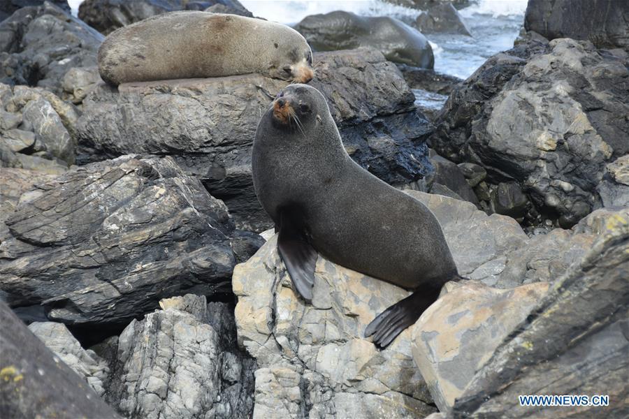 New Zealand fur seals seen in Wellington's rugged south coast