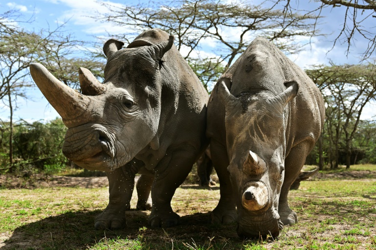 Scientists a step closer to saving northern white rhino from extinction