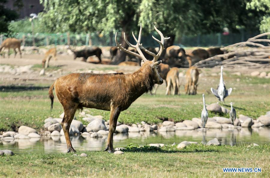 'Milu Conservation Union' launched to protect rare deer species of milu