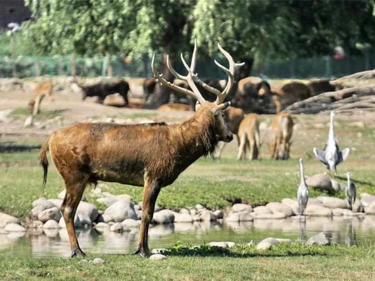 """""""Milu Conservation Union"""" launched to protect rare deer species of milu"""