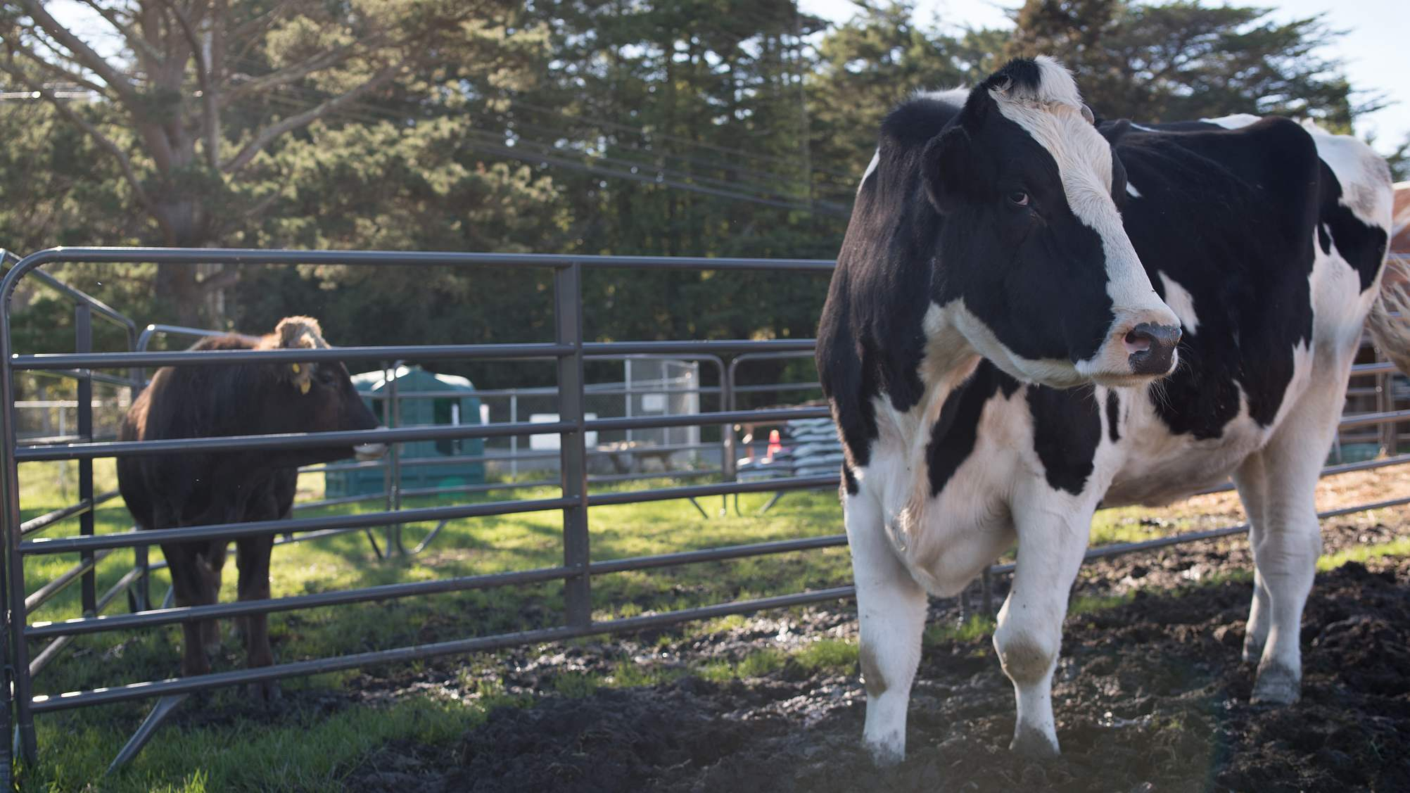 New Zealand exports fewer dairy products to China