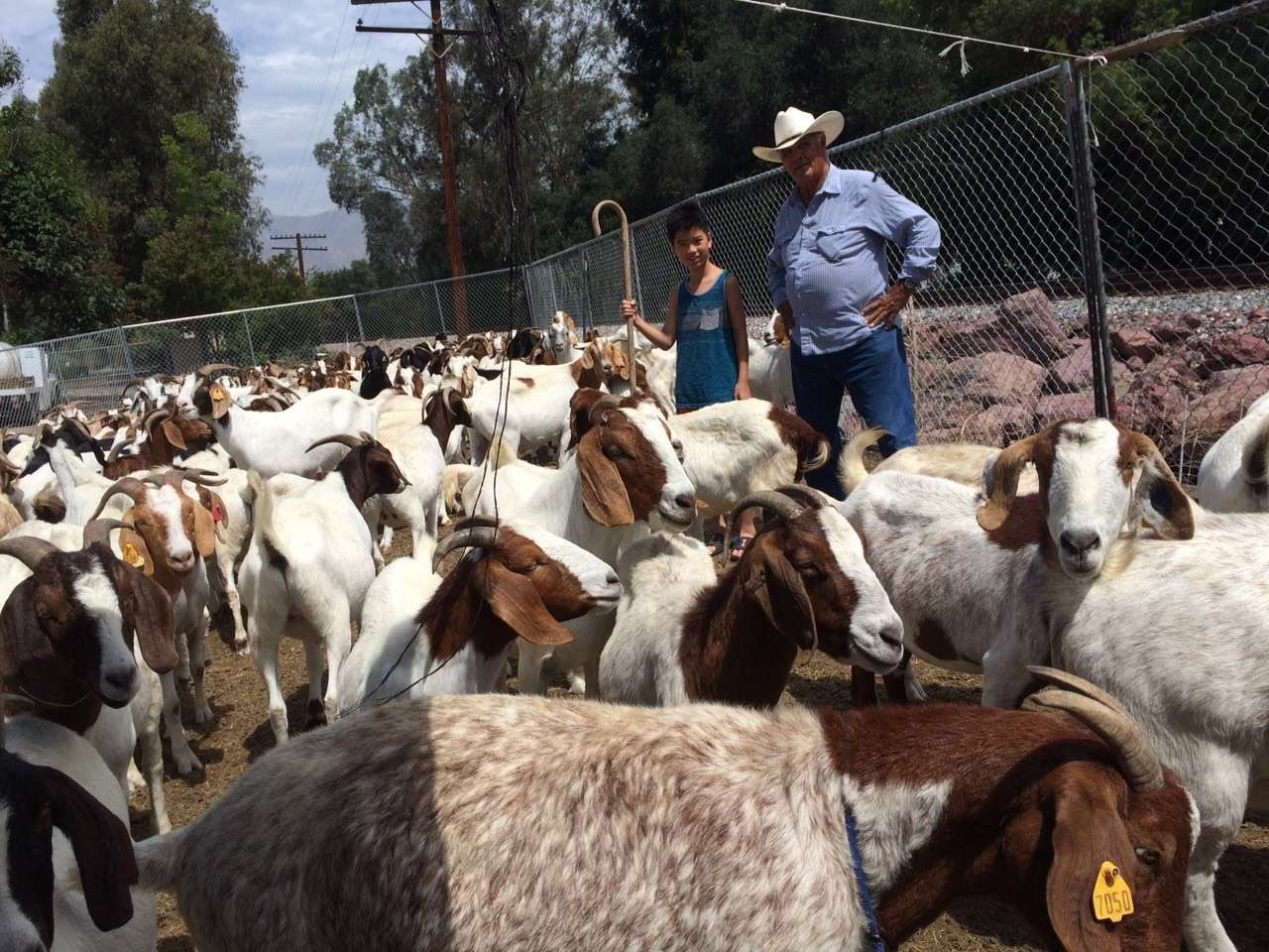 Weed-eating goats reduce fire risks in Southern California