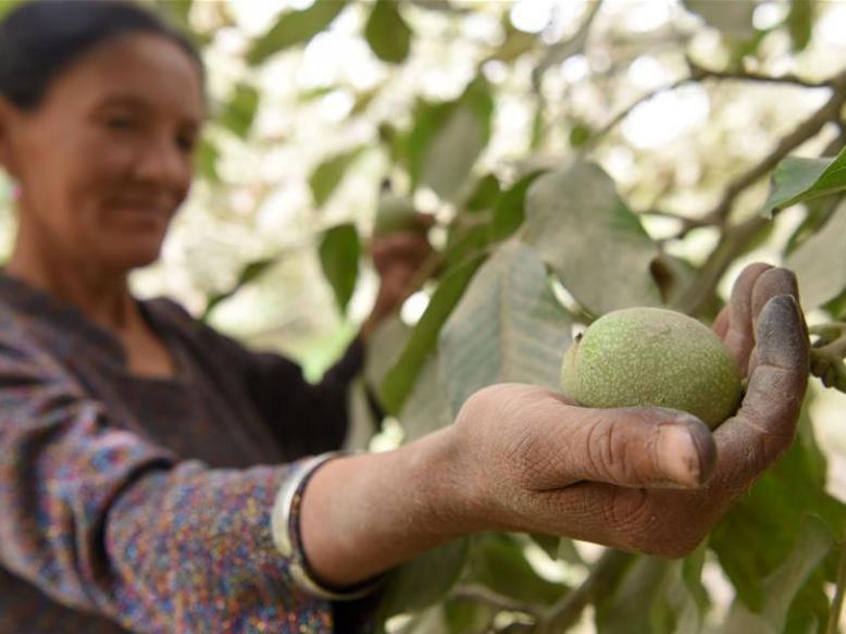 Walnuts enter harvest season in Hotan County, China's Xinjiang