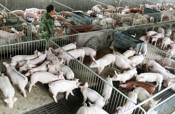 PIG farm-CD.jpg