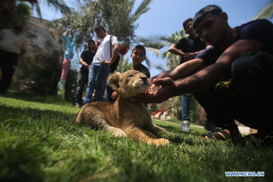 Newly-born lion cubs seen in Gaza Strip city of Rafah