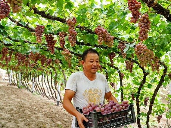 Farmers plant improved grapes to increase output in north China's Hebei