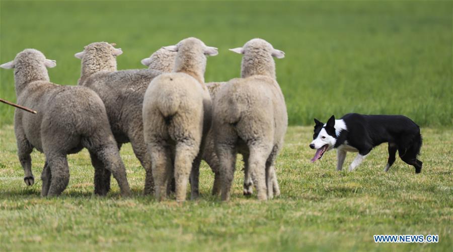 National Sheepdog Finals held in Colorado, US