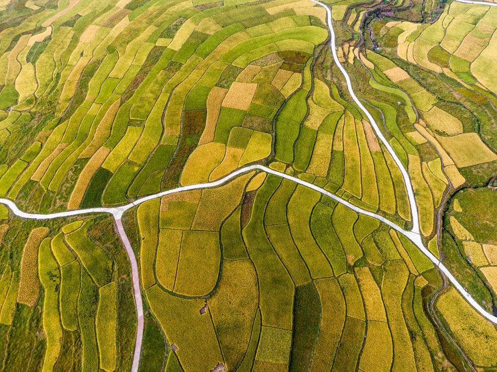Tourism at Guizhou's golden terraced fields grows in autumn