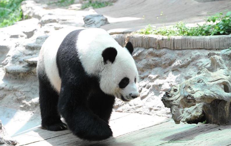 Beloved giant panda Chuang Chuang dies at Thailand's Chiang Mai Zoo