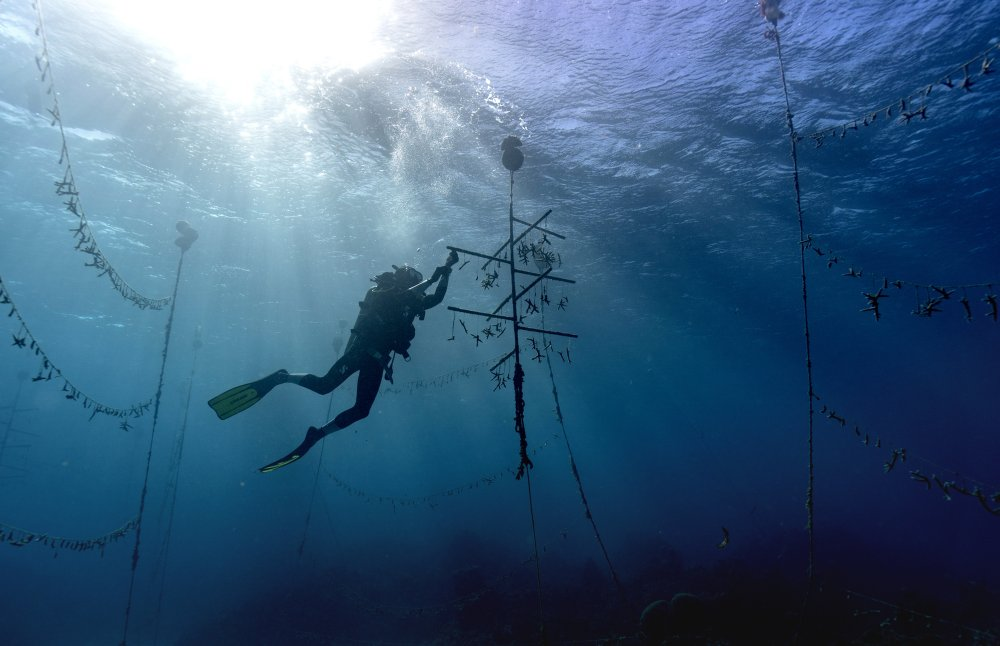 Coral gardeners bring back Jamaica's reefs, piece by piece