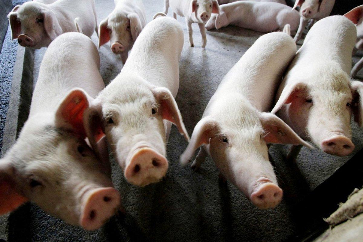 pig swine.jpg