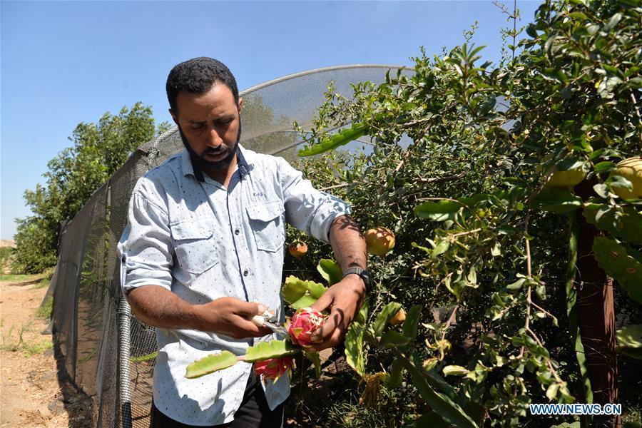 Palestinian farmers prune dragon fruit in Gaza