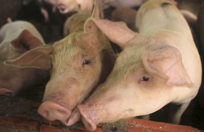 Thailand yet to find traces of African Swine fever
