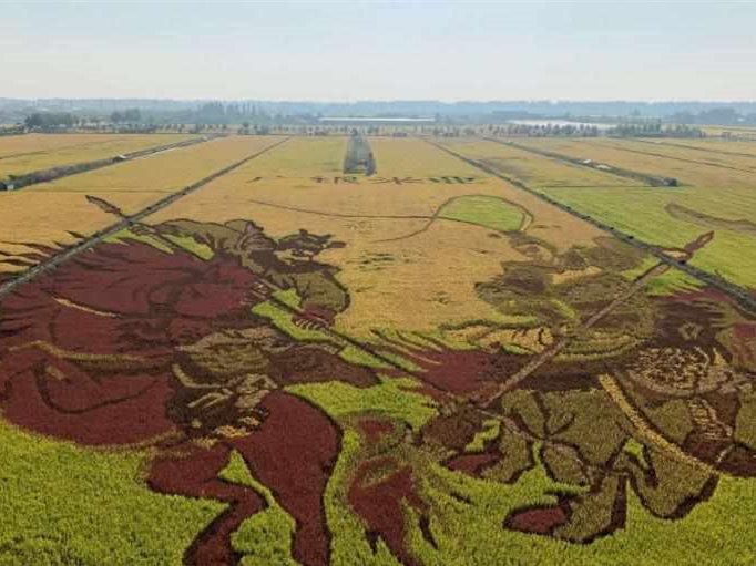 Rice paddy art in Helan County, NW China's Ningxia