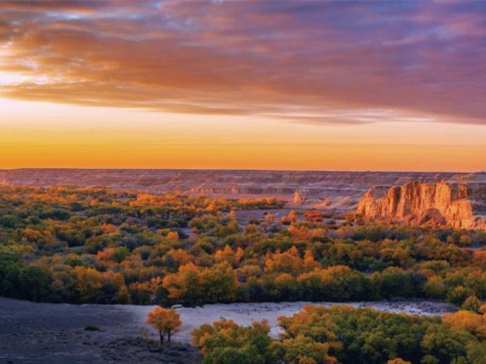 Xinjiang's golden desert poplar proves big draw for tourists